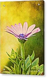 Cape Daisy Acrylic Print by Lois Bryan