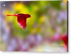 Cardinal In Flight Acrylic Print by Dan Friend
