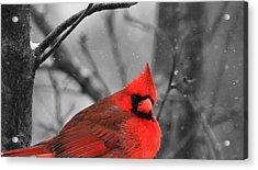 Cardinal In Snow Acrylic Print by Dan Sproul