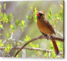 Cardinal In Spring Acrylic Print by Sandi OReilly