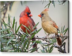 Cardinal Mates Acrylic Print by Bonnie Barry