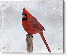 Cardinal Perching Acrylic Print by Sandy Keeton