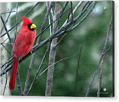 Cardinal West Acrylic Print by Jeff Kolker