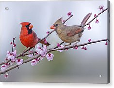 Cardinals In Plum Blossoms Acrylic Print by Bonnie Barry