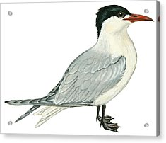 Caspian Tern Acrylic Print by Anonymous