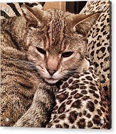 Cat Patterns Acrylic Print by Patricia Januszkiewicz