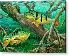 Catching Peacock Bass - Pavon Acrylic Print by Terry Fox