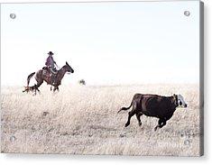Cattle Drive Acrylic Print by Cindy Singleton