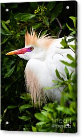 Cattle Egret Acrylic Print by Dawna  Moore Photography