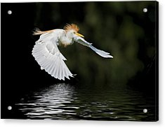 Cattle Egret In Flight Acrylic Print by Bonnie Barry