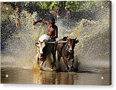 Cattle Race In Kerala South India Acrylic Print by Pradeep Subramanian