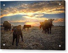 Cattle Sunset 2 Acrylic Print by Thomas Zimmerman