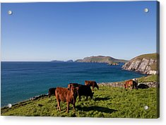 Cattle With Distant Blasket Islands Acrylic Print by Panoramic Images