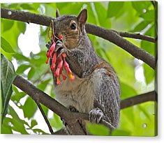 Caught Red Handed Acrylic Print by Eve Spring