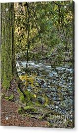 Cedar Tree By Kanaka Creek Acrylic Print by Sharon Talson