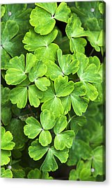Certain Green Acrylic Print by Christina Rollo