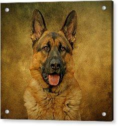 Chance - German Shepherd Acrylic Print by Sandy Keeton