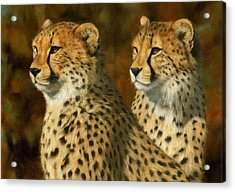 Cheetah Brothers Acrylic Print by David Stribbling