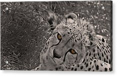 Cheetah Eyes Acrylic Print by Martin Newman