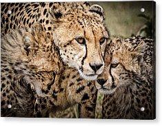 Cheetah Family Portrait Acrylic Print by Mike Gaudaur