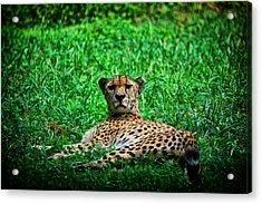 Cheetah Acrylic Print by Karol Livote