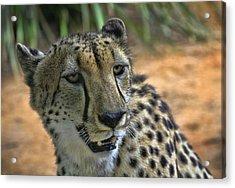 Cheetah Acrylic Print by Kim Andelkovic