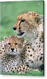 Cheetah Mother And Cub Masai Mara Acrylic Print by