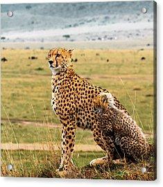 Cheetahs Acrylic Print by Babak Tafreshi