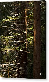 Cheit's Redwoods Acrylic Print by Larry Darnell