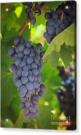 Chelan Blue Grapes Acrylic Print by Inge Johnsson