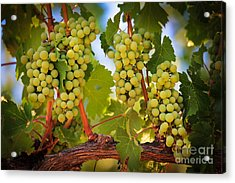 Chelan Grapevines Acrylic Print by Inge Johnsson