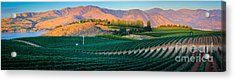 Chelan Vineyard Panorama Acrylic Print by Inge Johnsson