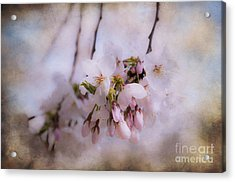 Cherry Blossom Dreams Acrylic Print by Terry Rowe