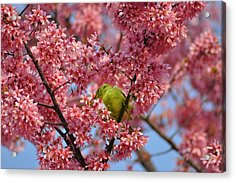 Cherry Blossom Time Acrylic Print by Bill Cannon