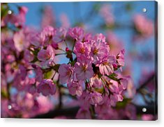 Cherry Blossoms 2013 - 031 Acrylic Print by Metro DC Photography