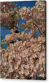 Cherry Blossoms 2013 - 034 Acrylic Print by Metro DC Photography