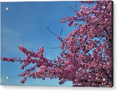Cherry Blossoms 2013 - 037 Acrylic Print by Metro DC Photography