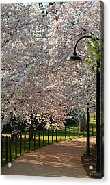 Cherry Blossoms 2013 - 060 Acrylic Print by Metro DC Photography