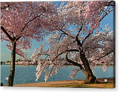 Cherry Blossoms 2013 - 063 Acrylic Print by Metro DC Photography