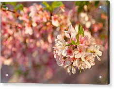 Cherry Blossoms 2013 - 072 Acrylic Print by Metro DC Photography