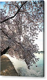 Cherry Blossoms 2013 - 092 Acrylic Print by Metro DC Photography