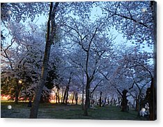 Cherry Blossoms 2013 - 100 Acrylic Print by Metro DC Photography