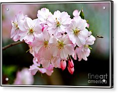 Cherry Blossoms And A Bee Acrylic Print by Patti Whitten