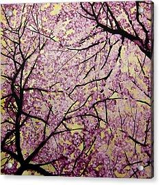 Cherry Blossoms Acrylic Print by Bobby Zeik