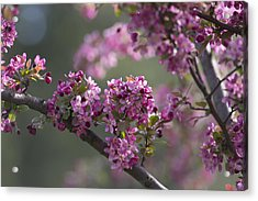 Cherry Blossoms Acrylic Print by Dale Kincaid
