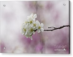 Cherry Blossoms - Out On A Limb Acrylic Print by Robert E Alter Reflections of Infinity