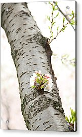 Cherry Blossoms - Washington Dc - 0113106 Acrylic Print by DC Photographer