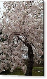 Cherry Blossoms - Washington Dc - 0113118 Acrylic Print by DC Photographer