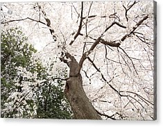 Cherry Blossoms - Washington Dc - 0113136 Acrylic Print by DC Photographer