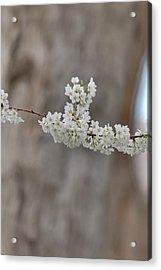 Cherry Blossoms - Washington Dc - 011355 Acrylic Print by DC Photographer